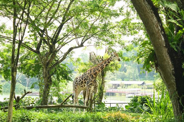 jirafas_zoo_singapur