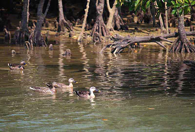 birds, ducks, river, mangroves, Kin Town, Okinawa, Japan