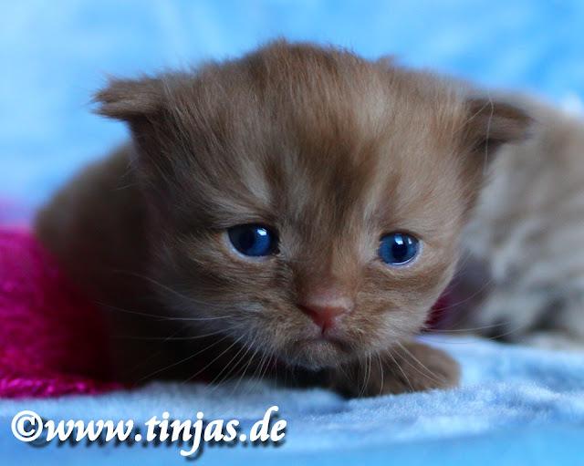 Kitten Farbe: cinnamonRasse Scottish Fold longhair