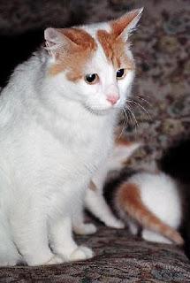gambar kucing Anotolian