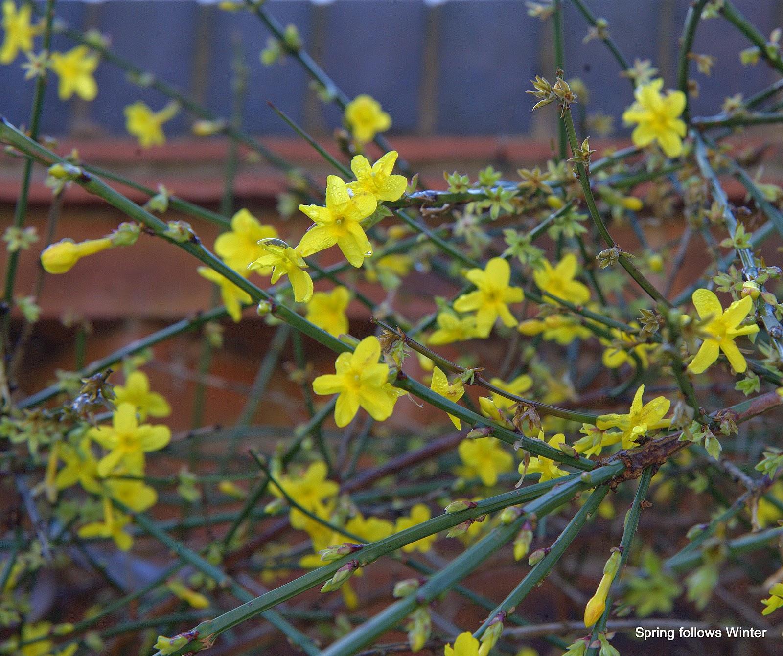 spring follows winter winter jasmine jasminum nudiflorum. Black Bedroom Furniture Sets. Home Design Ideas