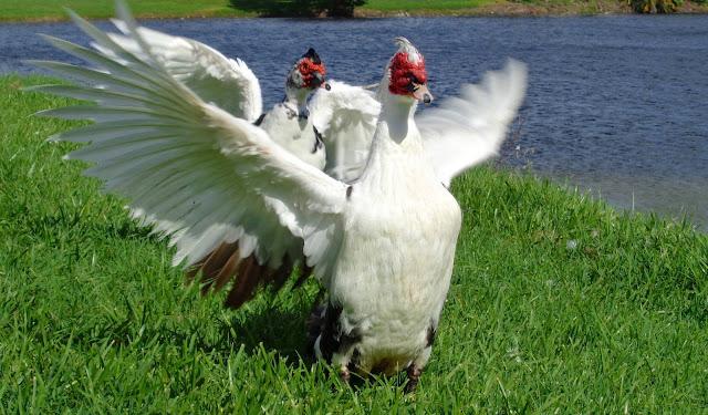 Muscovy Duck Aerobics