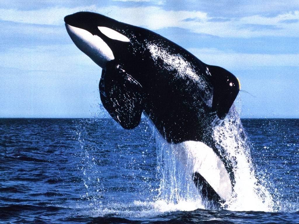 animals wildlife orca picture -#main
