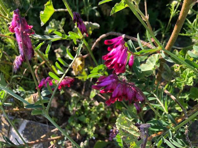 Evilhaca-vermelha (Vicia benghalensis)
