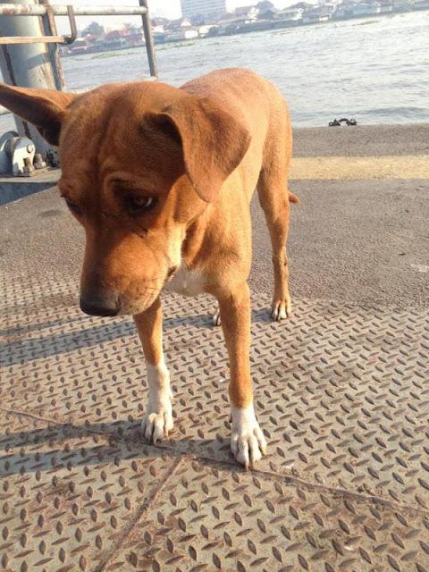 Không may ngã xuống sông, chú chó này ngày nào cũng ra bến tàu đợi chủ đến đón...
