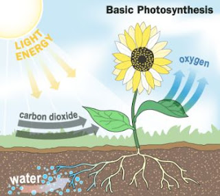 English Biology Quiz - Plants and photosynthesis