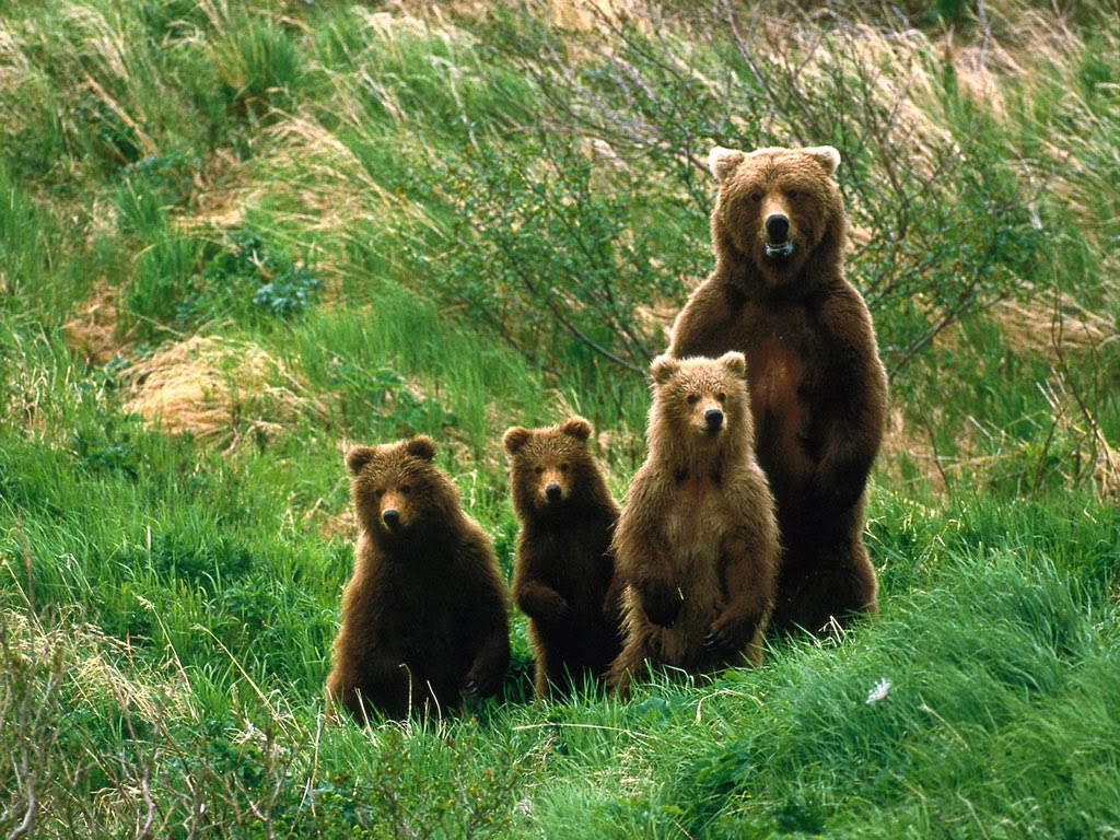 Brown Bear Photos