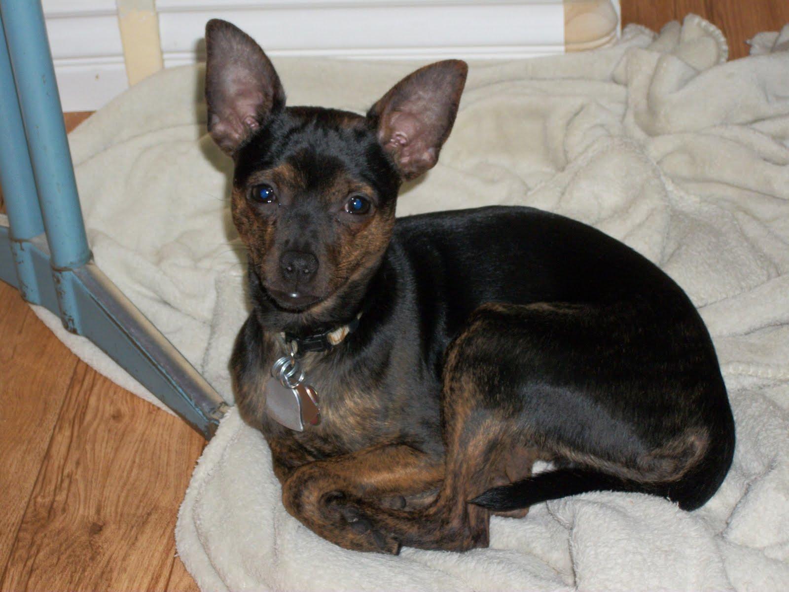 Can A Chihuahua Get A Big Dog Pregnant