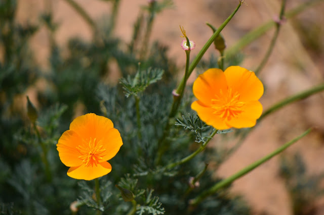 california poppy, amy myers, small sunny garden, desert garden, Eschscholzia californica