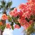 Cara Menanam Bunga Kertas