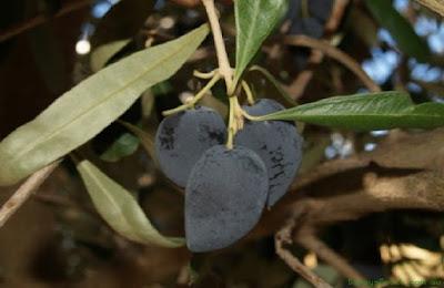 Αποτέλεσμα εικόνας για kainourgiopress καλαμών