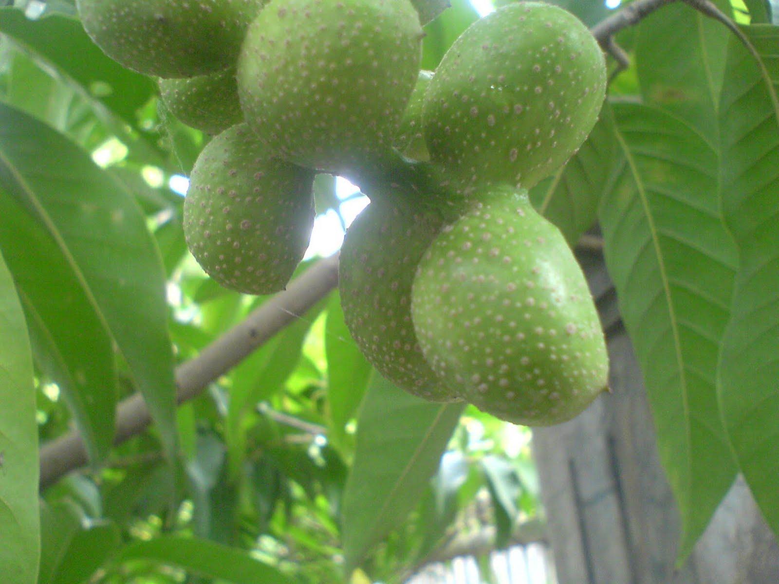 Kembang Kantil Wangi: Bibit pohon untuk penghijauan dan
