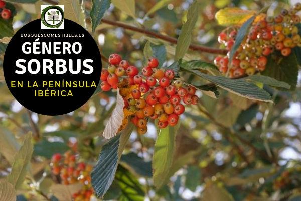 Lista de especies del Género Sorbus, Serbal, Familia Rosaceae en la Península Ibérica