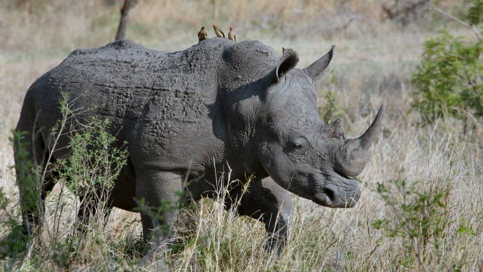Wallpaper: Rhino in the Wild