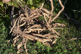 Skirret roots