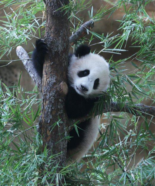 Gambar Anak panda Malaysia