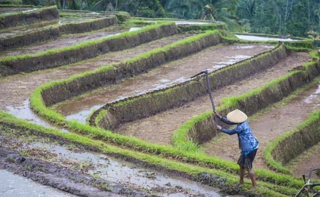 www.xvlor.com Jatiluwih terraced rice field is Balinese farm by Subak system culture