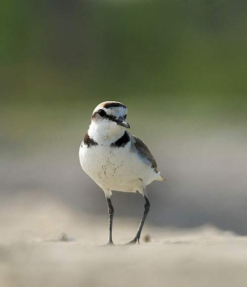 Indian birds - Photo of Kentish plover - Charadrius alexandrinus