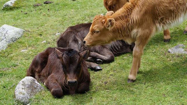 animales, vacas, quebrada, peru, huaraz