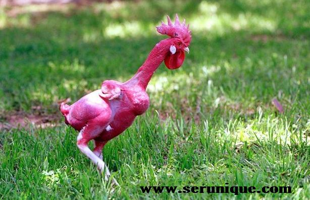 Unik, Ayam Tanpa Bulu Pertama Di Dunia