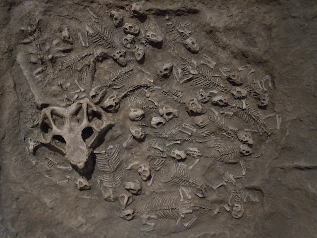 Baby dinosaur fossils in a nest