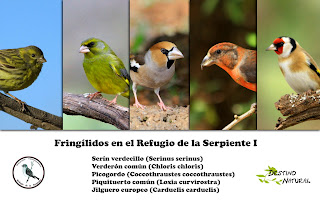 Fringílidos Estepa