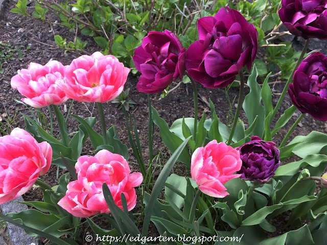 Tulpen Blue Wow und Peach Blossom