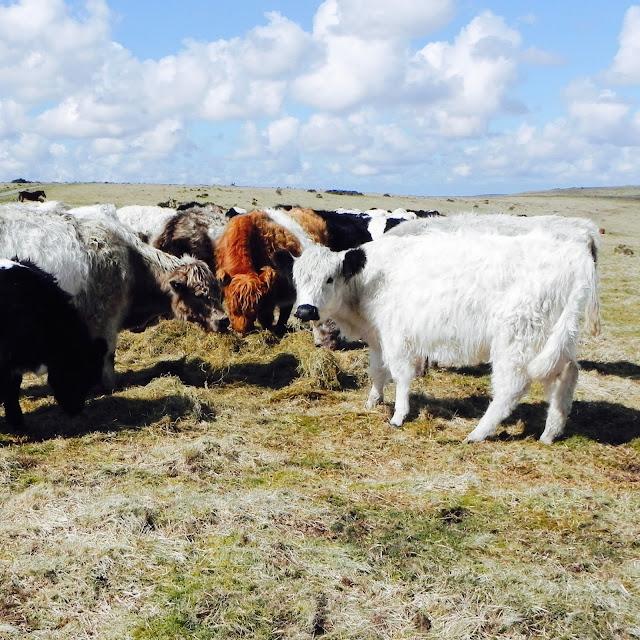 Bodmin Moor Cows