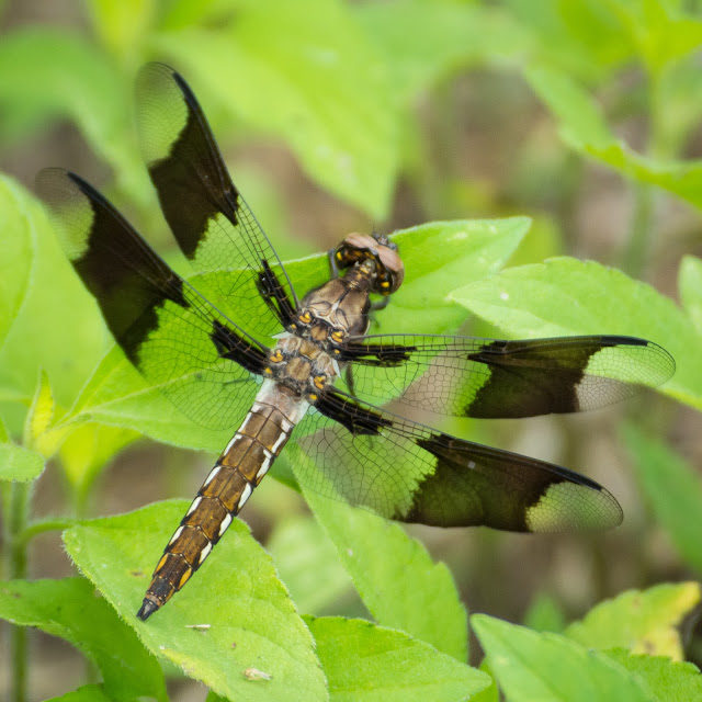 Common Whitetail Skimmer, Clear Creek Natural Heritage Center