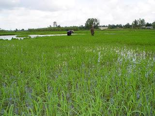 Vietnamese hat in the rice paddies of Vietnam