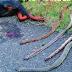Este perrito tuvo una escalofriante pelea con cobras venenosas ¡el porqué es increíble!