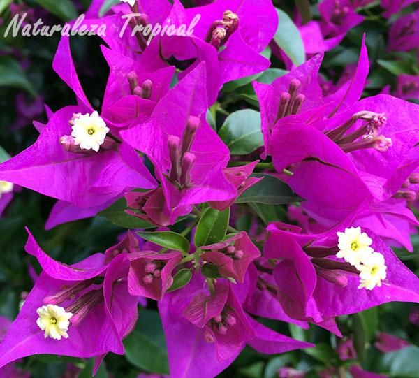 Floración de una especie de buganvilia, género Bougainvillea