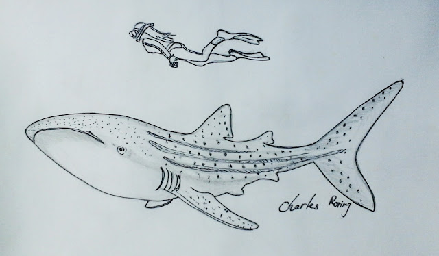 Sketch of a lady swimming with whaleshark