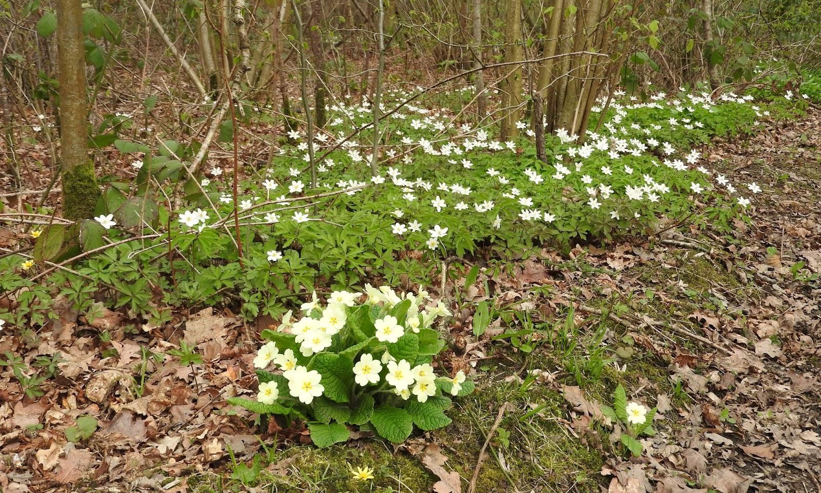 Plovers Blog Woodland Flowers