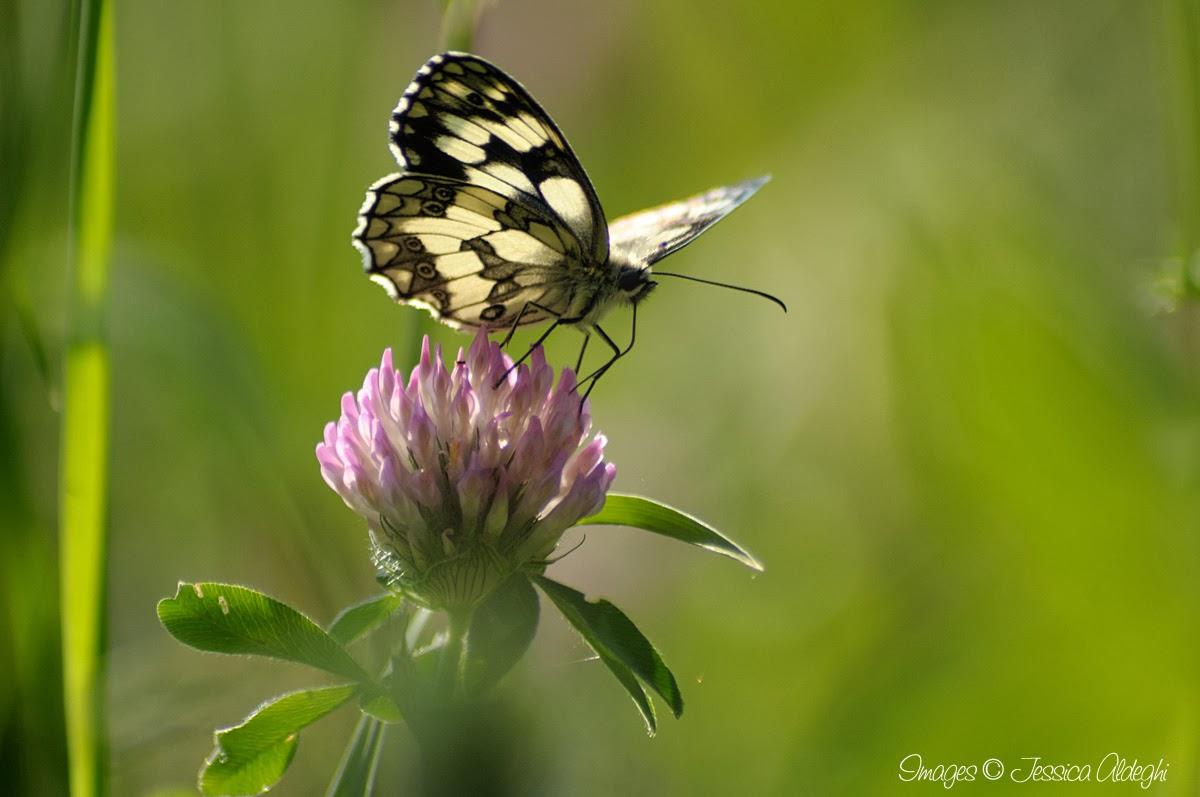 Farfalle: Immagini Di Farfalle E Fiori