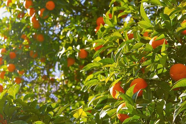 Árbol lleno de mandarinas listas para su recolección