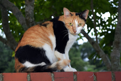 Calico cat, photo via Adobe Stock
