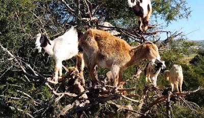 kambing aneh unik