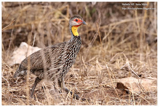 https://bioclicetphotos.blogspot.fr/search/label/Francolin%20%C3%A0%20cou%20jaune%20-%20Pternistis%20leucoscepus