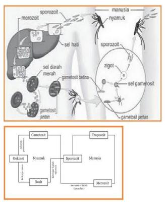 Siklus/daur hidup Plasmodium