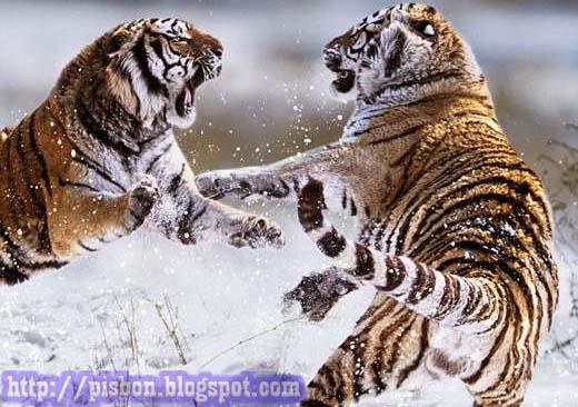 Foto Video Unik Pertarungan Singa Harimau Proxy Url Http 3a