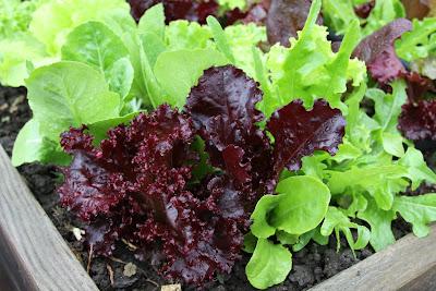 Plant lettuce