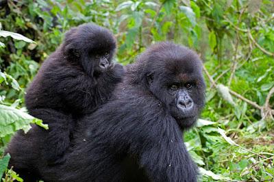 WHAT MAKES A GORILLA TREKKING SAFARI IN RWANDA SO INTERESTING?