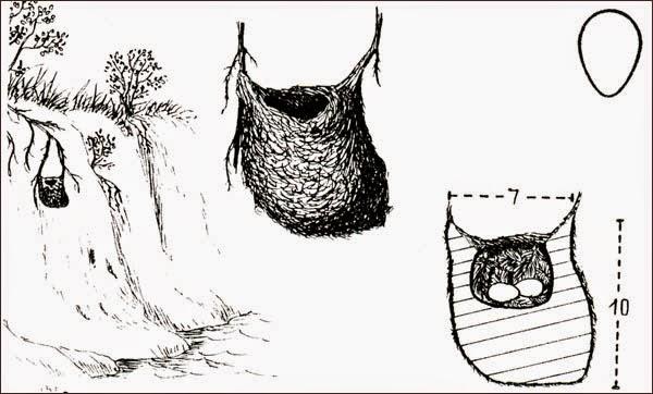 nido de piojito gris
