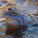 Frühjahrszeit ist Amphibienzeit