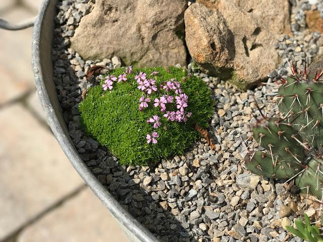 Mini-Staude mit Mini-Blüten stängelloses Leimkraut (c) by Joachim Wenk