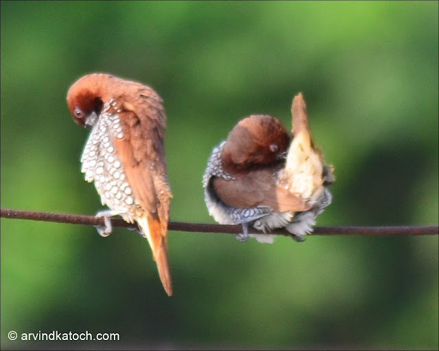 Pair, Scaly-breasted Munia, Munia, Spotted Munia, Tiny Bird,