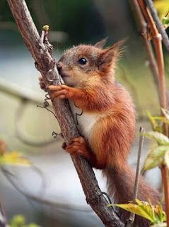 Um filhote de esquilo de perfil, agarrado a um tronco fino em direção ao alto. O corpo pequeno está coberto por pelos longos de aspecto macio em tons de caramelo. A cara e barriga são mais claras, as orelhas pequenas e pontudas, com tufos de pelos nas pontas, os olhos redondos e delicados, o focinho arredondado e o rabo é longo com pelagem densa.