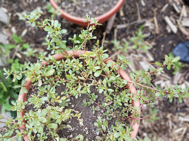 Purslane might be considered a weed here in the U.S., but it's incredibly nutritious and part of the Mediterranean diet!