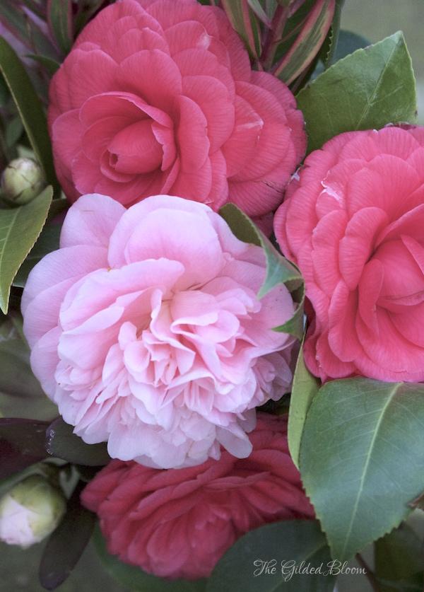 Pink Camellias- www.gildedbloom.com